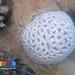 Oil-slicked Tanah Merah: Big ring favid coral (Family Faviidae)