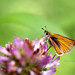 Two Spotted Skipper