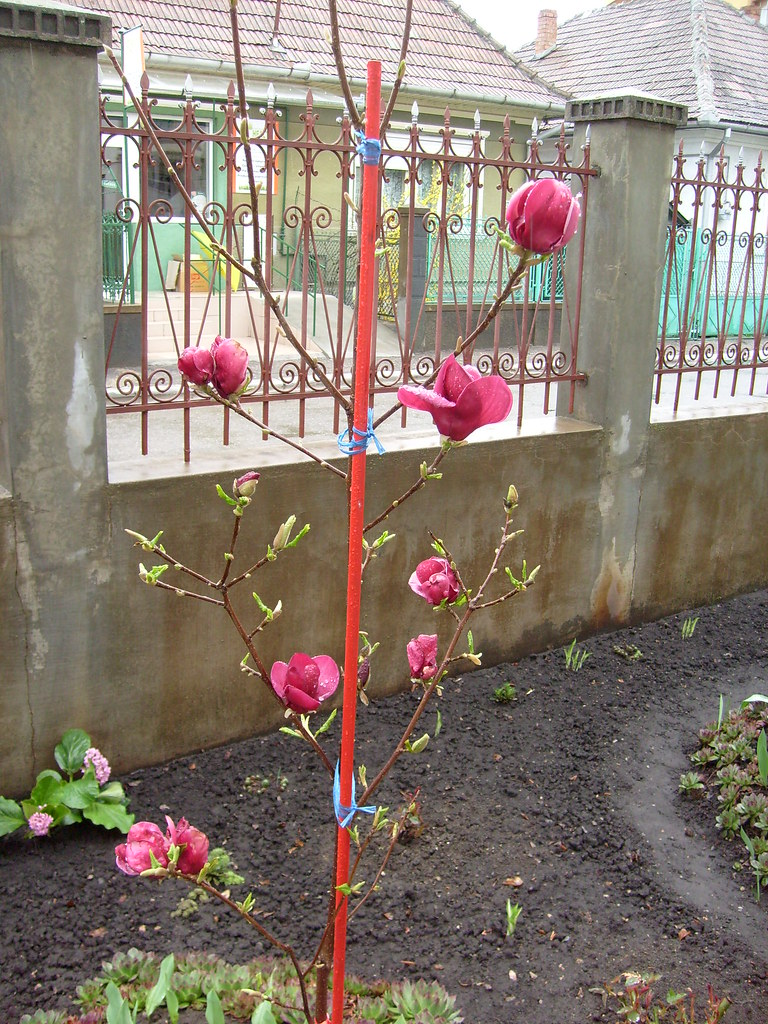 magnolia genie frederico ferdinand flickr. Black Bedroom Furniture Sets. Home Design Ideas