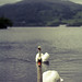 Windermere Swans