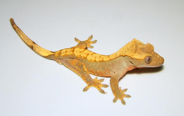 Recent Photos The Commons 20under20 Galleries World Map App Garden    Eyelash Crested Gecko