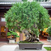 Bonsai at Nan Lian Garden_5760