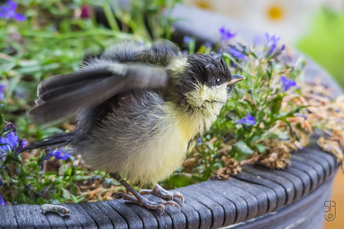 Juv. Great Tit (Parus major)-9794.jpg | by Stein Arne Jensen. THANKS for all the views!