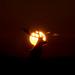 Red Deer - Rim-Lit Silhouette