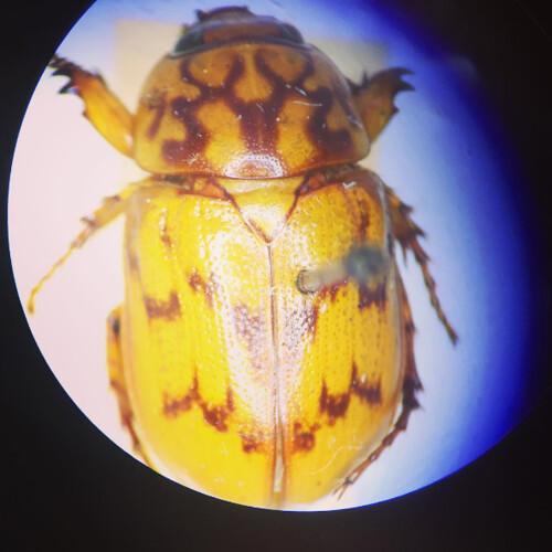 Microscope image of Cyclocephala lunulata