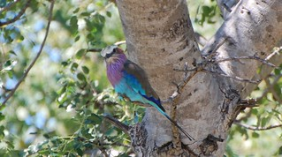 Lilac-breasted Roller | by kevingessner