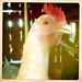 Chicken Looking Stage Left