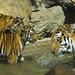 Tiger cubs and mom