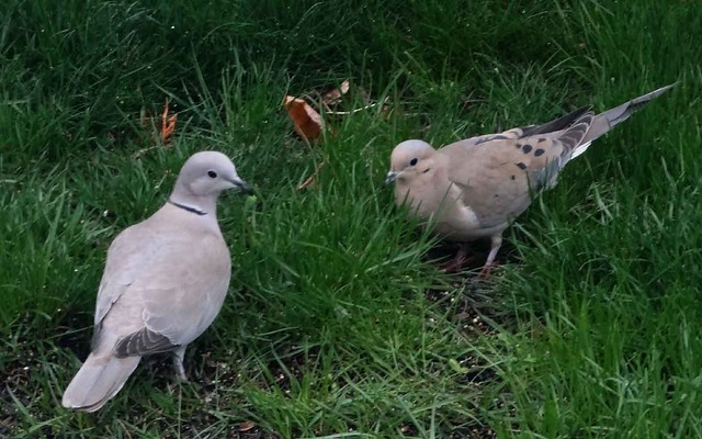 African collared dove vs eurasian collared dove - photo#13