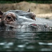 hippo III ...