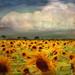 ~~~  sunflowers ~~~