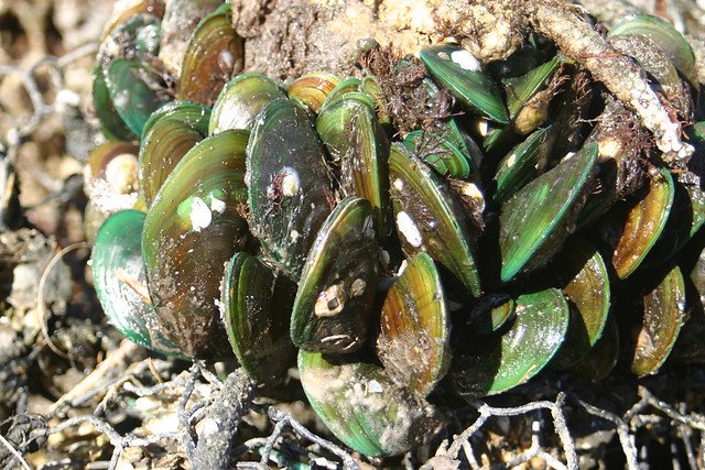 La moule verte contient plus d'oméga-3 que le saumon.