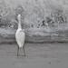 Snowy Egret, Surf