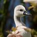 Swan Cygnet #2 - Newport Wetlands