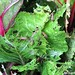 Blister beetles attacking Swiss chard 3