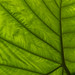 365@VU: 207 - The underside of the elephant ear plant in the Medical Center courtyard