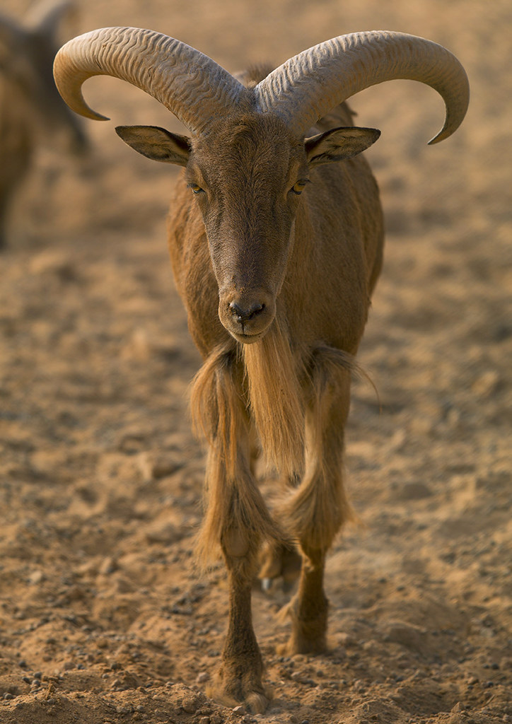 Barbary Sheep Ghadames Libya Eric Lafforgue Www