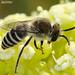 Uma pequena Abelha // Plasterer Bee (Colletes sp.), male