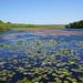 Bosherston ponds