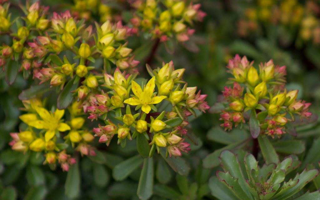 ? plante grasse fleur jaune IMG_4279 | Jardins de la ...