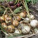 Four varieties of homegrown onions harvested in June - FarmgirlFare.com