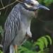 Yellow-crowned Night-Heron female 20120724
