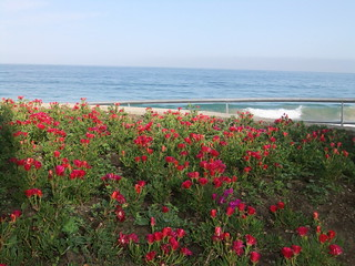 red flowers and the pacific ocean......... | by Rosi's World