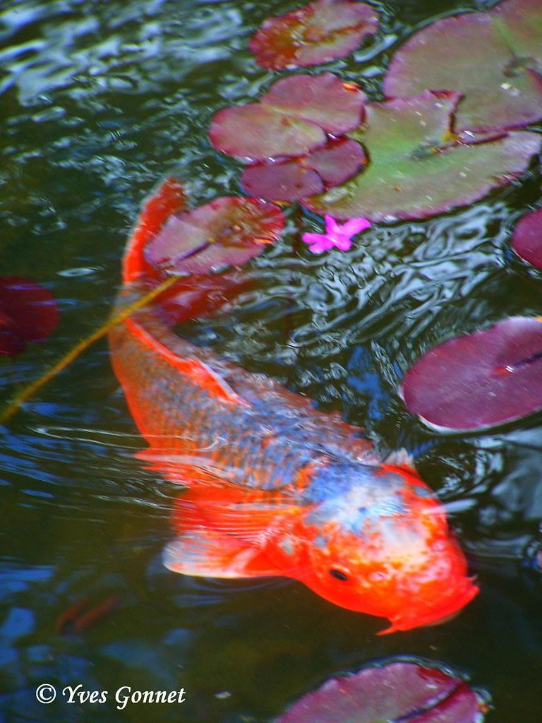 Carpe ko parc albert kahn jardin japonais balade prome flickr - Bassin japonais dessin dijon ...
