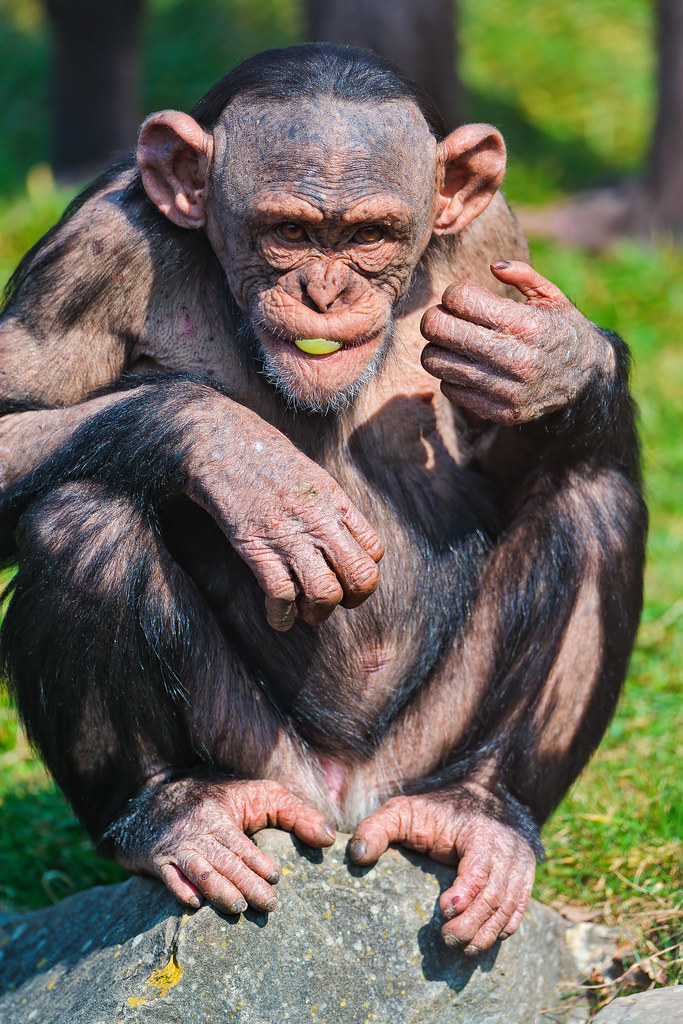 How Many Types Of Chimpanzees Are There?