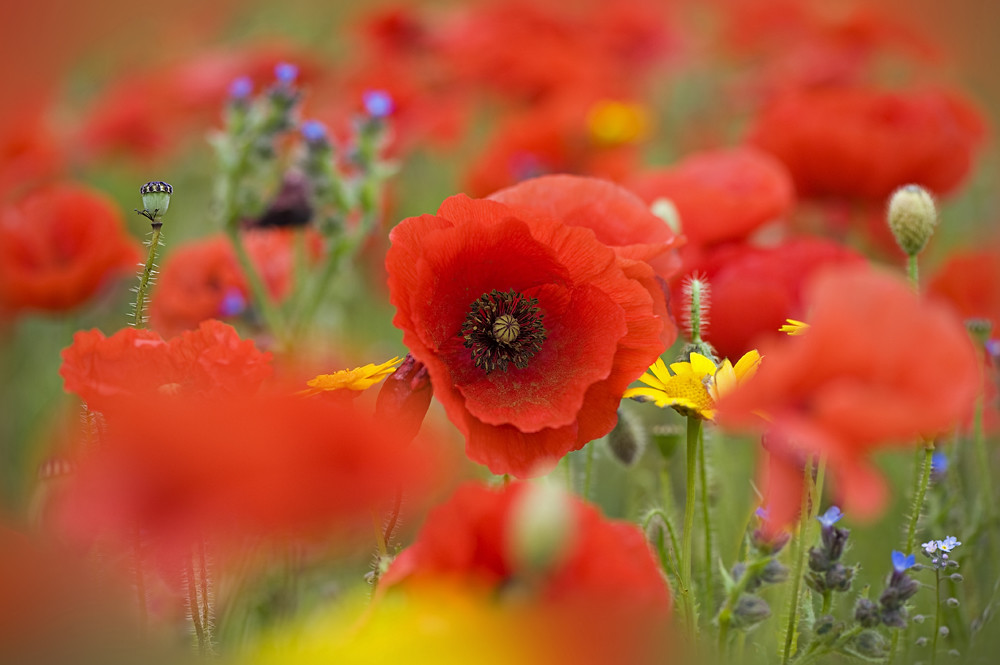 Soft on Poppies by Jacky Parker