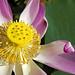 Blossom Lotus