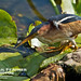 Wakodahatchee Wetlands FL - © Tail Feather Photos - Male Least Bittern With Fish - Florida Bird Photography Locations