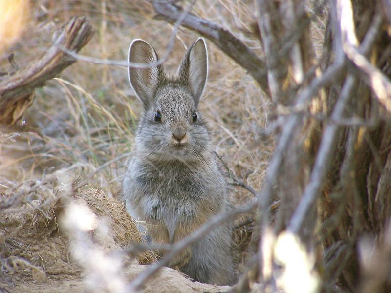 Кролик-пигмей, или айдахский кролик (Brachylagus idahoensis), фото зайцы фотография