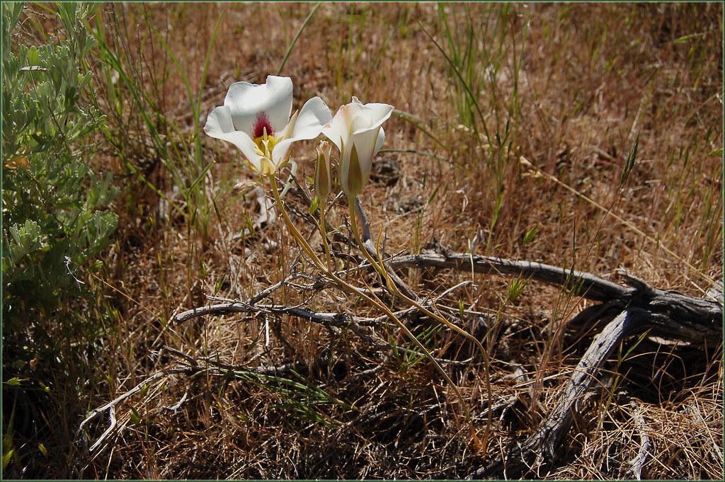 Image Result For Utah State Flower