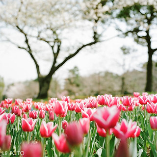 tulip and a cherry tree -1 | by yuki***