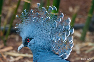 Goura Victoria - The Victoria Crowned Pigeon - ZooParc de Beauval | by Dicksy93