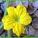 Flor de melão