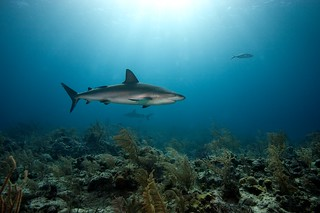 Caribbean Reef Sharks - New Providence, Bahamas | by James R.D. Scott