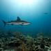 Caribbean Reef Sharks - New Providence, Bahamas
