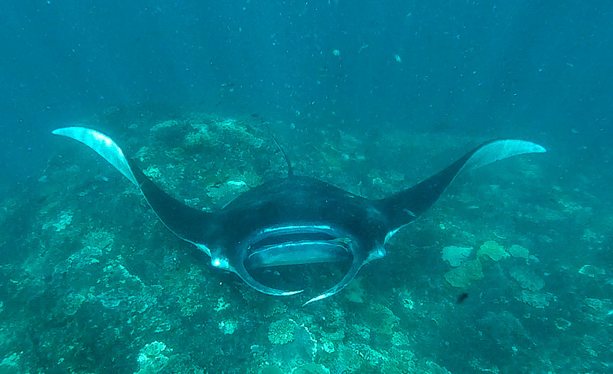 Mantas at nusa penida snorkeling at the cleaning station for Fish cleaning station near me