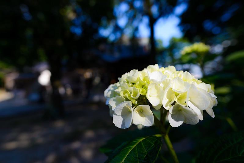 大神山神社 紫陽花 2016.6-31