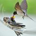 燕子媽媽: 孩子, 一口一口慢慢吃喔! Swallow feeding (Mild Air)