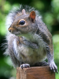Young Squirrel. | by wurzel.pete.1.9 Million views,Thanks.