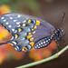 Newly Minted Swallowtail