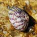 Flat Top Shell (Gibbula umbilicalis)