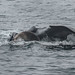Humpback whale mother teaching her calf to feed on krill (4 of 5)