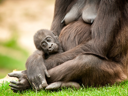gorilla baby | by iPhotograph