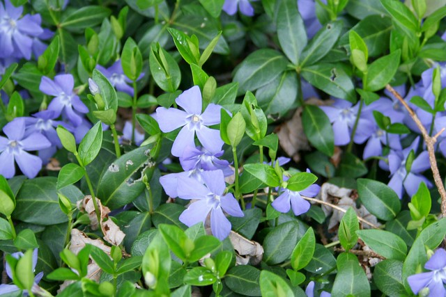 Ground Cover With Blue Flowers 31