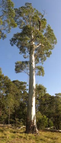 Eucalyptus Viminalis Flickr Photo Sharing