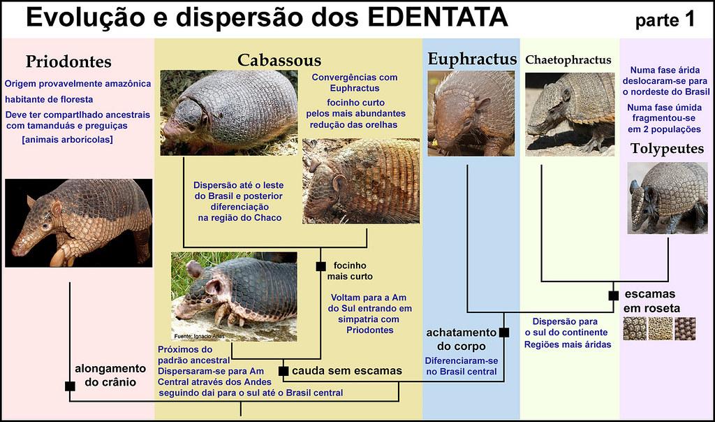 Xenarthra Phylogeny Edentata Basal ...